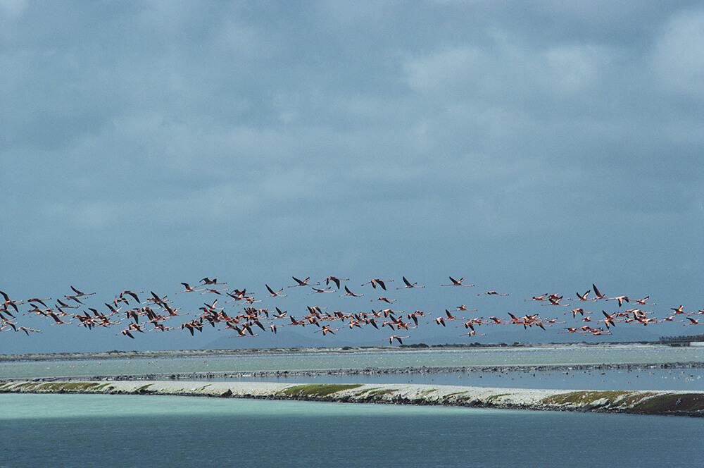 Flamingos In Flight from Slim Aarons Beach fine art photography