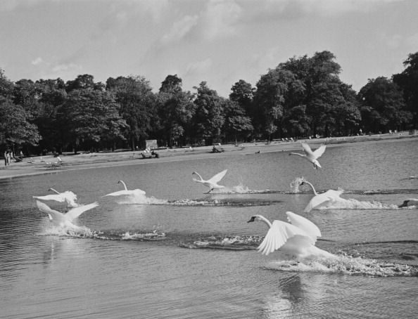Swans Take Flight from Thurston Hopkins fine art photography